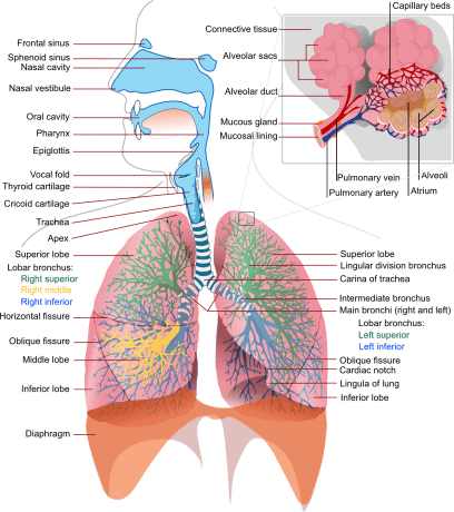 Function of the Lungs